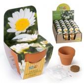 Mini kit fleurs paquerette annuelle