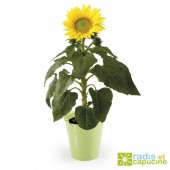 Graines de Tournesol en pot zinc colore